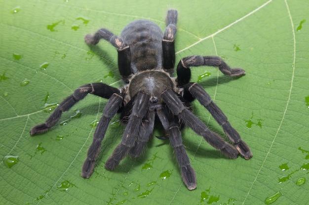 Araña gigante negra sobre una hoja verde