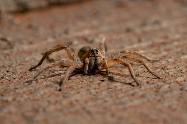 Araña lobo de la familia lycosidae