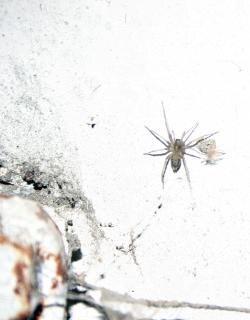 Araña pequeña, blanca