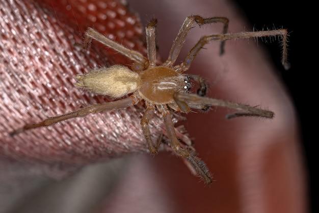 Araña de saco de patas largas macho adulto del género cheiracanthium