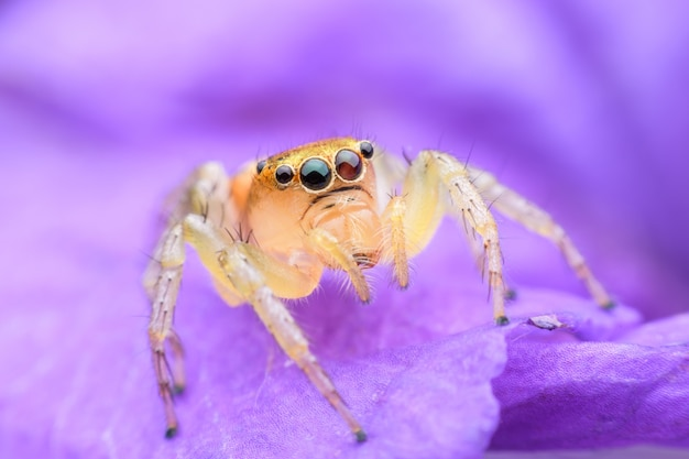 Araña saltarina en flor morada