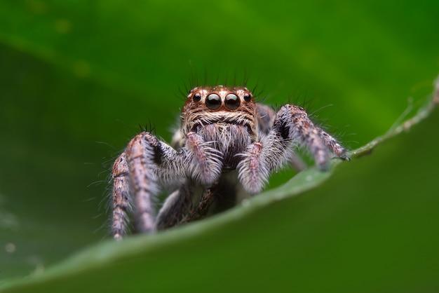 Araña saltarina