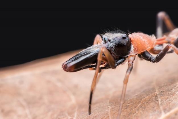 Araña de salto de hormiga masculina en hoja seca