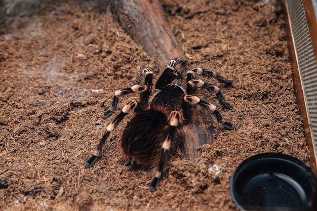 Araña tarántula grande sobre una cubierta de tierra en un terrario.