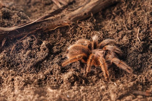 Araña tarántula grande sobre una superficie de tierra.
