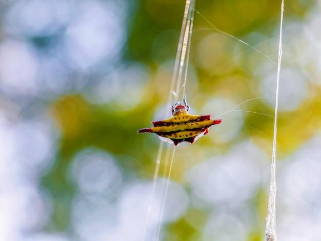 Araña tejedora de orbe espinosa amarilla girando su web