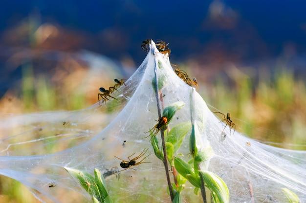 Las arañas y la familia en las telarañas de las ramas verdes. siberia. rusia.