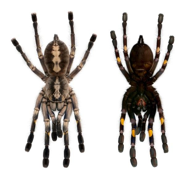 Arañas de tarántula, poecilotheria metallica, delante de un fondo blanco.