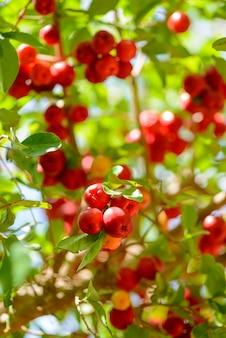 Árbol de acerola con muchos frutos maduros.