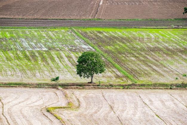 Árbol árido solitario en campo de arroz.