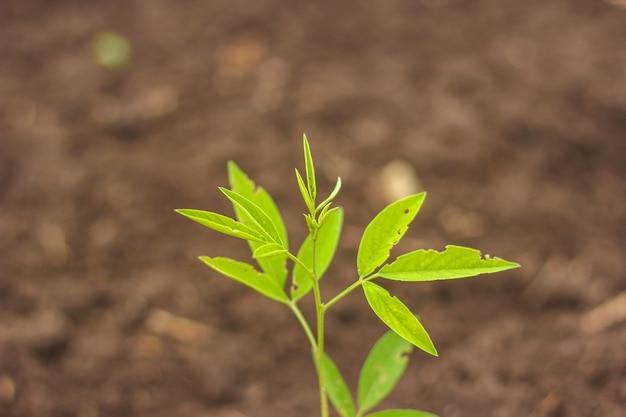 Árbol de arveja en el campo agrícola
