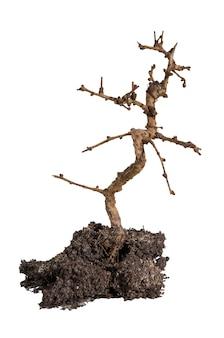 Árbol bonsai sin hojas de hoja caduca en suelo fresco o tierra con ramas desnudas aisladas