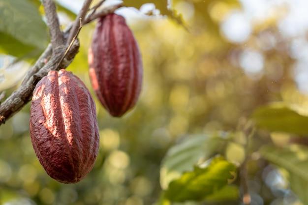 Árbol de cacao de cerca con vaina de cacao lista para la cosecha