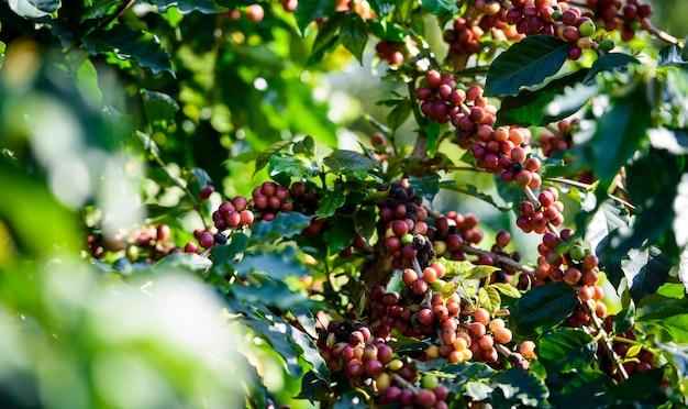 Árbol de café con grano de café en la plantación de café