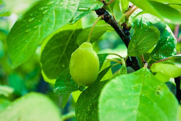 Árbol de ciruelo con fruta verde natural con gotas de lluvia.