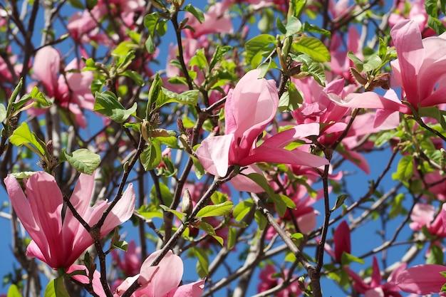 Árbol floreciente de magnolia rosa en el cielo azul