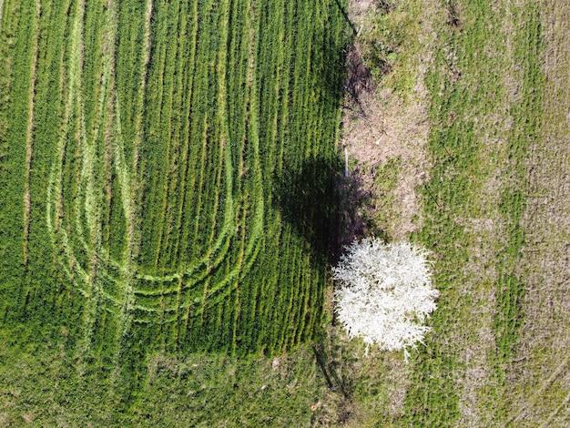 Árbol floreciente, vista superior. ciruelo de flor de primavera en campo, tierras de cultivo, vista aérea. marcas de rueda en un campo verde de cultivos de invierno