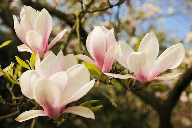 Árbol florido de magnolia