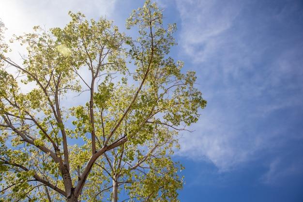 árbol fresco verde de bodhi con el cielo azul vivo.