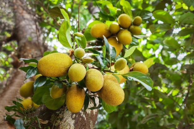 Árbol frutal de jack