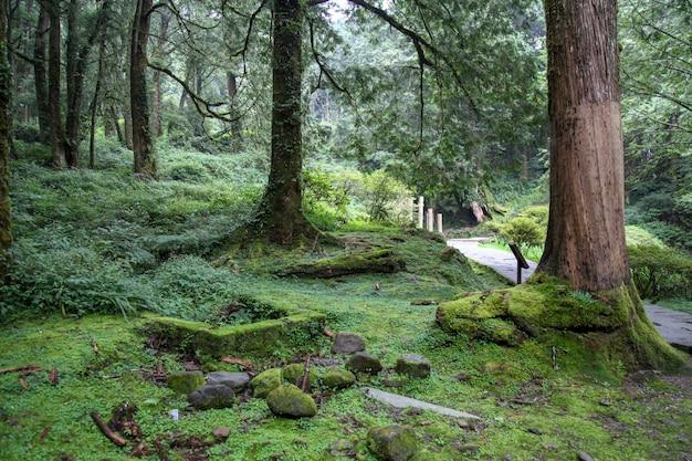 Árbol grande viejo en el área del parque nacional de alishan en taiwán.