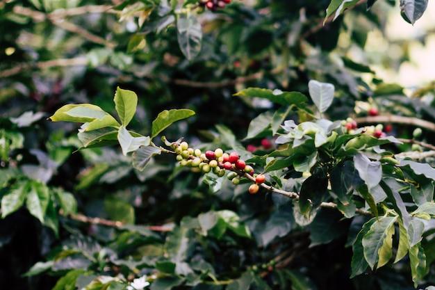 Árbol de granos de café arábica
