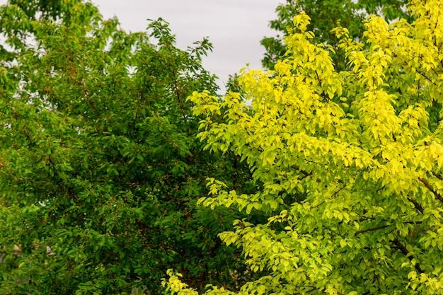 Árbol con hojas verdes y amarillo en el jardín.