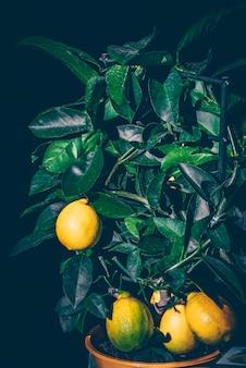 Árbol de limón en una olla