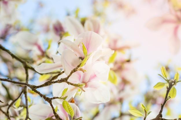 Árbol de magnolia con flores florecientes durante la primavera en englis