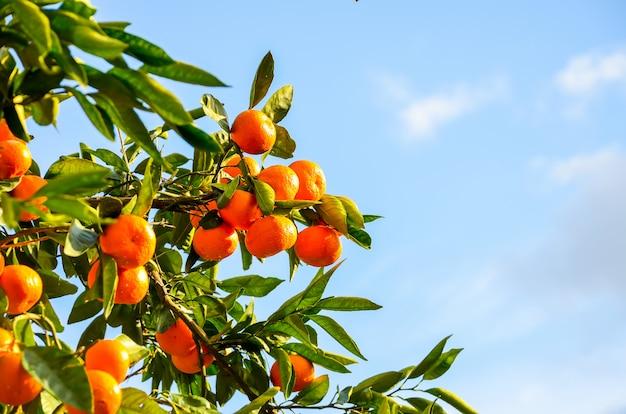 Árbol de mandarina en un jardín botánico. batumi, georgia.