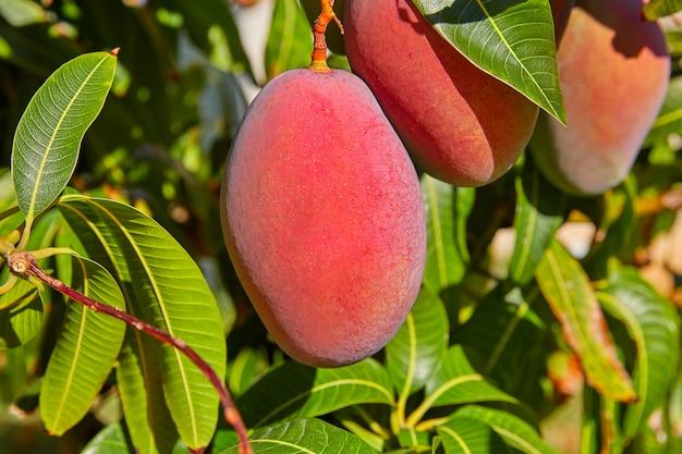 Árbol de mango con frutas de mango colgando