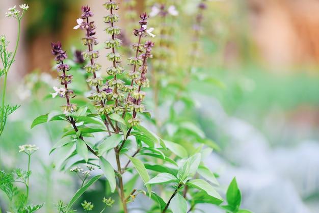 Árbol de la planta de albahaca fresca en la naturaleza