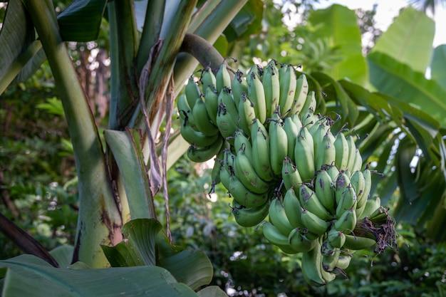 Árbol de plátano con plátano verde.