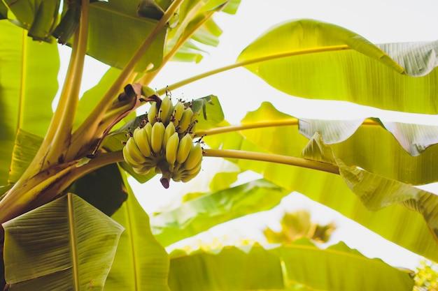 Árbol de plátano con racimo de plátanos verdes crudos.