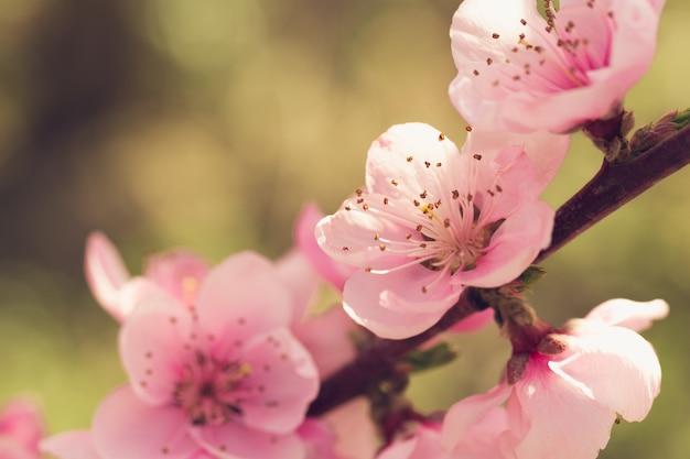 Árbol de primavera con flores rosas.
