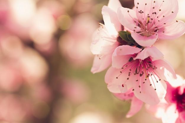 Árbol de primavera con flores rosas