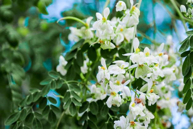 El árbol del rábano o palillo tiene una flor de naranja blanca y amarilla