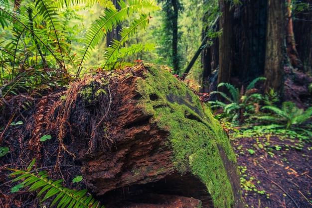 Árbol de redwood caído