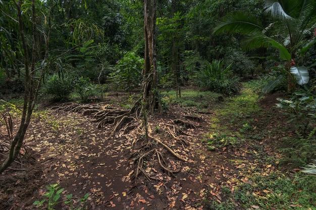 Un árbol y sus raíces sirven como una bifurcación en la jungla de costa rica