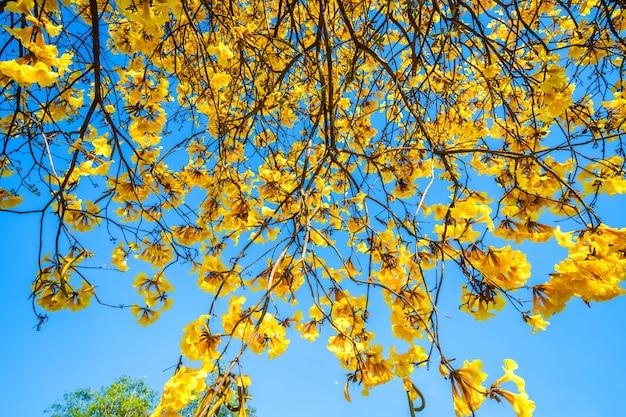Árbol de trompeta de oro en el parque adentro en fondo del cielo azul.