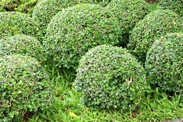 Árbol verde para decoración de jardín.