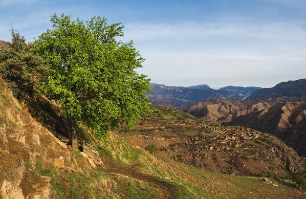 Árbol verde solitario en la ladera. pueblo viejo en el desfiladero, alta montaña al fondo. hermoso paisaje de montaña en primavera. daguestán.