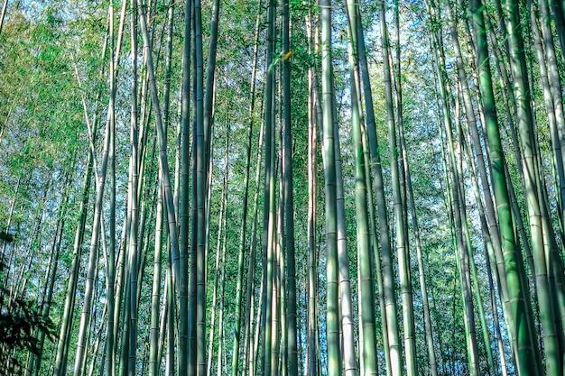 Arboleda de bambú verde, textura de concepto de fondo de japón de bosque de bambú