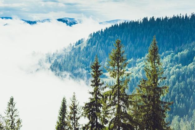 Árboles coníferos en un bosque lluvioso de niebla