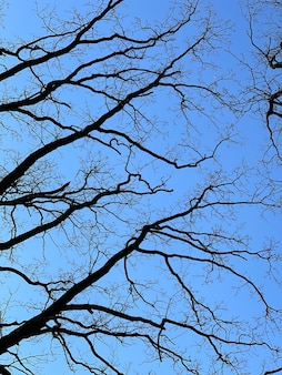 Árboles desnudos en primavera contra un cielo azul claro vista desde abajo.