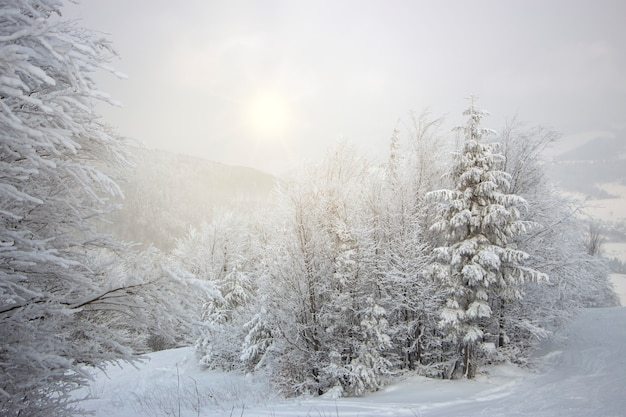 Los árboles están cubiertos de nieve en lo alto de las montañas, niebla ligera y el sol atravesando las nubes.