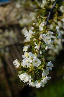 Arboles en flor. abeja sobre una flor blanca. rama de un árbol con flores blancas