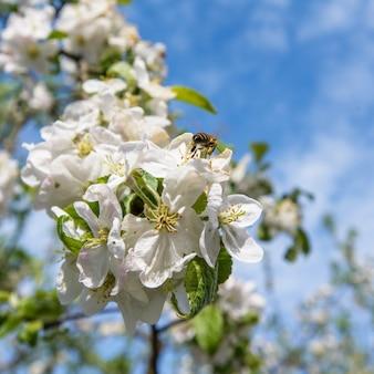 Árboles de flor de manzana