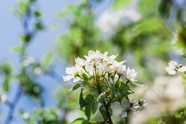 Árboles en flor, manzano, flores de árbol, primavera, polinización, naturaleza