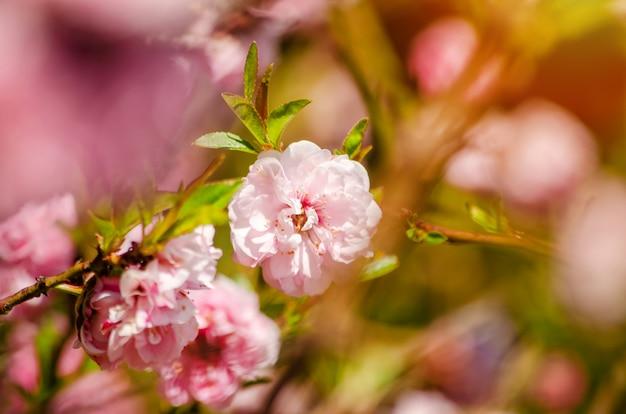 Árboles en flor de primavera, flores rosadas en el primer plano de las ramas